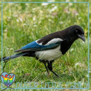 a magpie on some grass